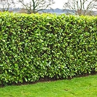 green hedge for privacy